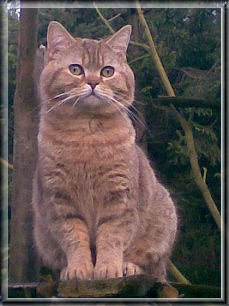 British Shorthair chocolate tabby