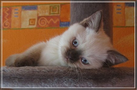 British Shorthair colourpoint